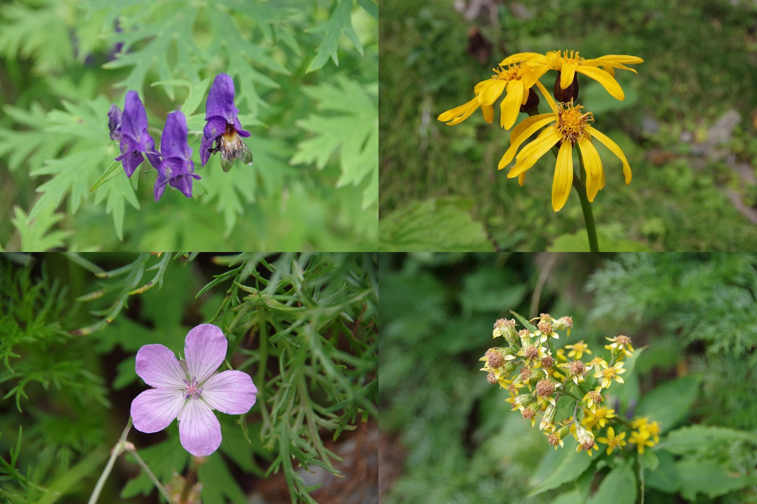 仙丈ヶ岳の花々