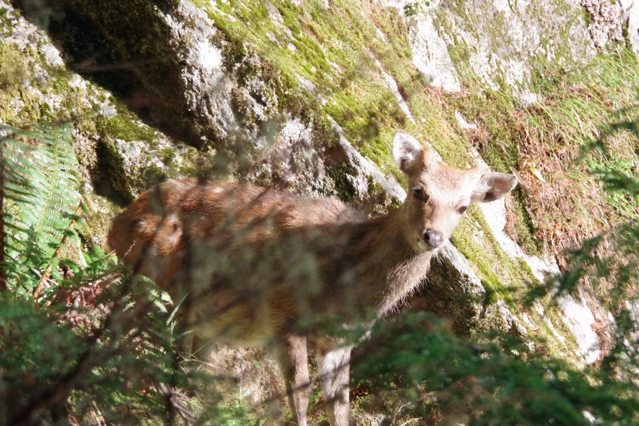 鹿さんです。