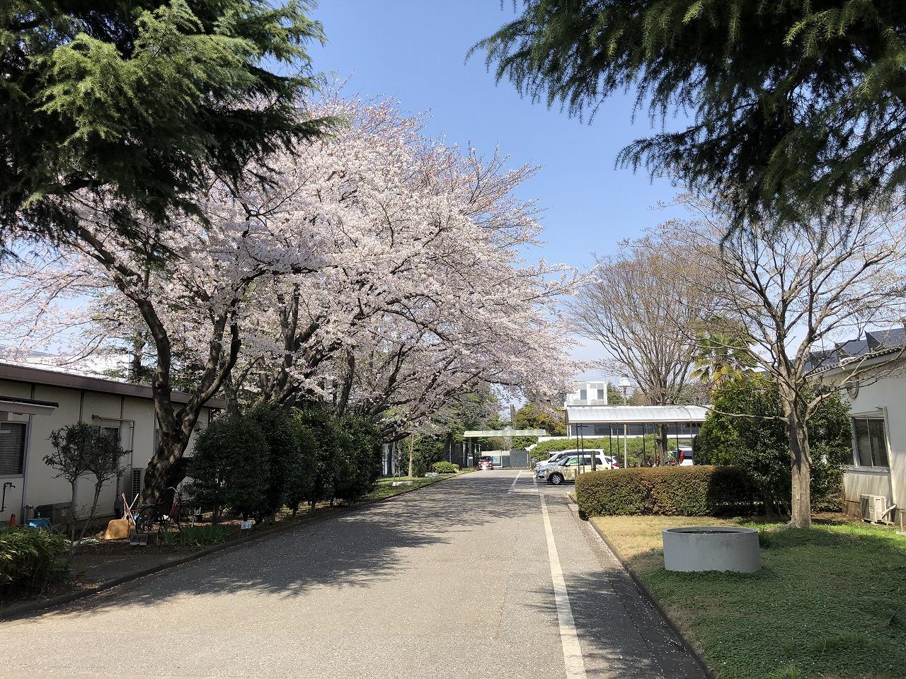会社の桜、ほぼ満開